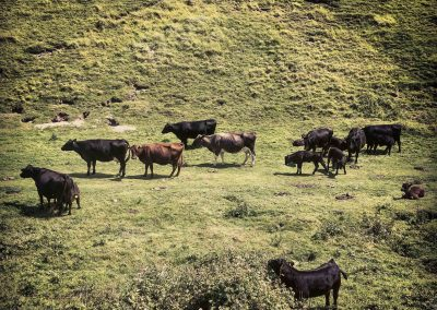 Taking a break from golf - cows at the Devil's Dyke